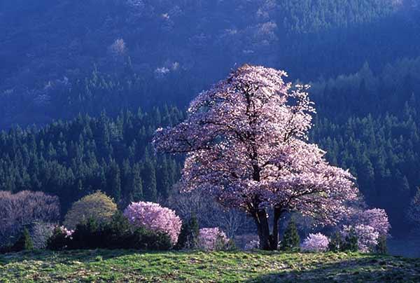 「東北・夢の桜街道」 お花見スポット厳選21選関連する記事・特集関連するキーワードマイトリップstaff